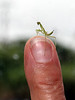 Praying Mantis on Finger Mountain<br /> <br /> My friend was in the drivers seat of my van when he announced that a tiny friend had suddenly appeared on his hand. While I got my camera out the mantis had made the summit of finger mountain :)