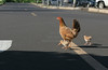 Chickens Cross The Road