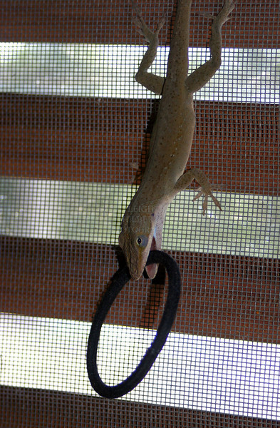 Another view of the wild anole lizard that came into my house and played with a hair tie~~