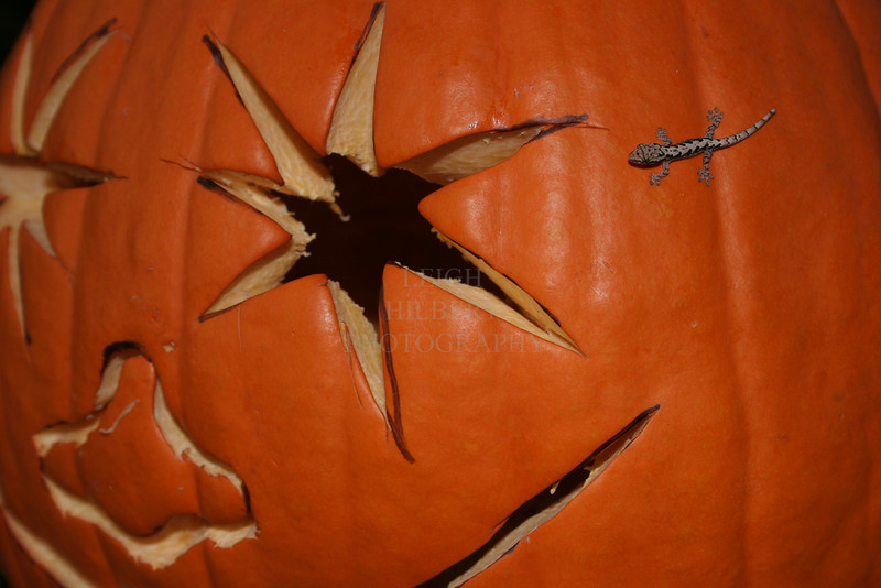 Pumpkin Gecko<br /> <br /> This tiny gecko lizard discovered a vast new world when he climbed onto my carved pumpkin~