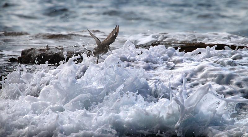 Gray Tattler dances between the ocean waves