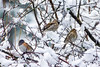 IMG # X17_1073_Snow_Birds