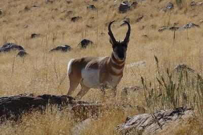 Antelope, Antelope Island...