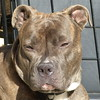 """At the pound, they called her color """"ghost brindle"""" or """"silver brindle"""""""