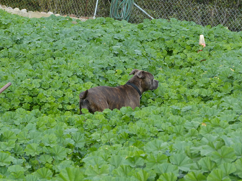the stinkin' mallow weeds are taller than she is!