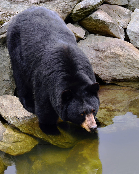 Black Bear enjoying a morning drink