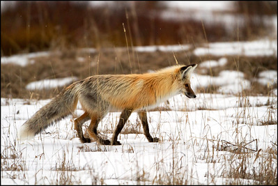 Red fox about to pounce (Vulpes vulpes)