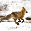Red fox running off with rodent catch (Vulpes vulpes)