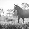 Horse B & W