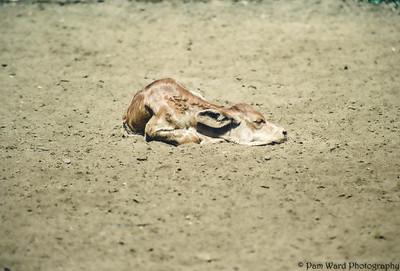 Orphaned Calf