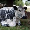Norfolk Island Cow