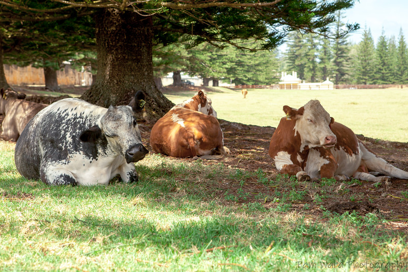 Norfolk Island Cows