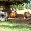 Norfolk Island Cows
