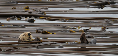 Ollie the Sea Otter