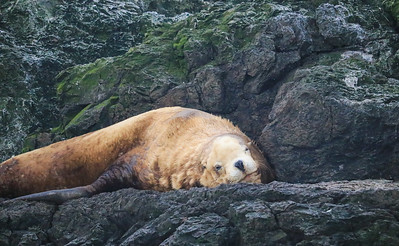 Sleepy Steller's Sea Lion