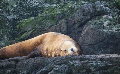 Sleepy Steller's Sea Lion
