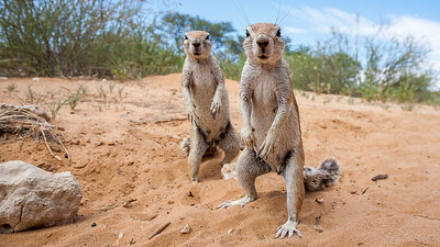 Cape Ground Squirrels