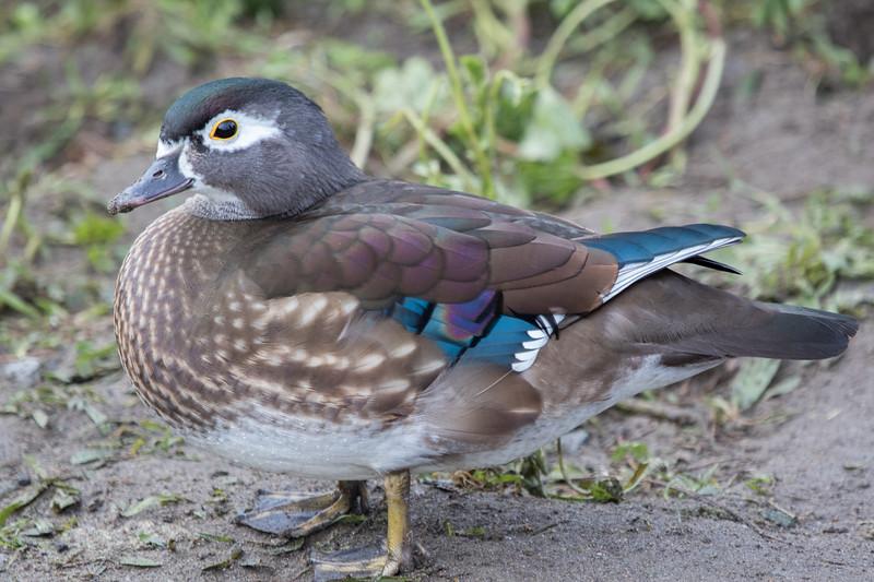 Female Wood Duck