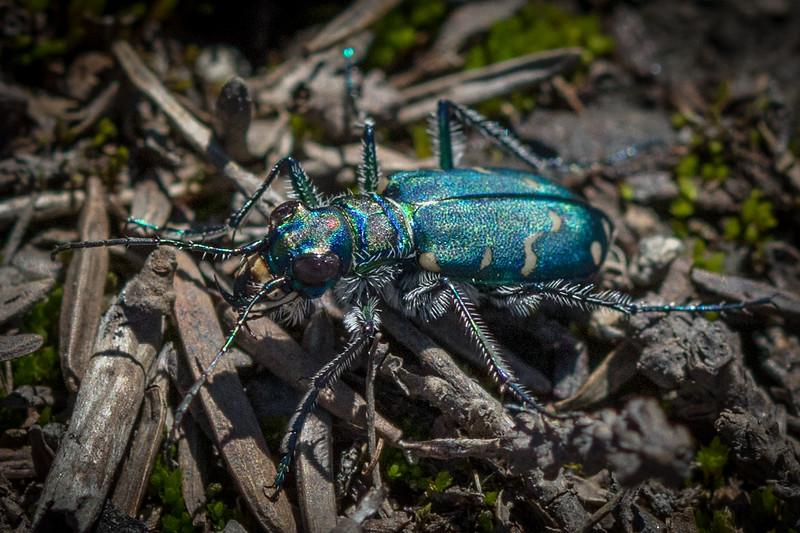 Cicindelinae - Tiger Beetle
