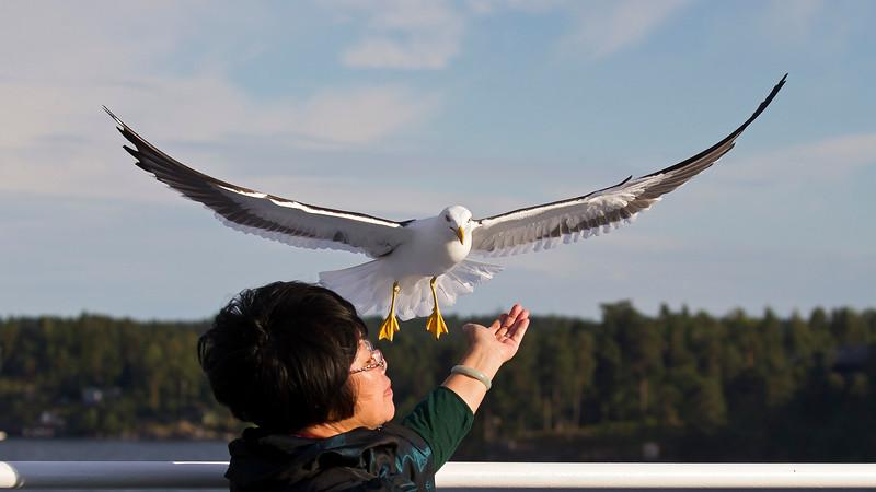 Feeding bird, Stockholm archipelago