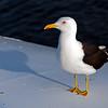 Seagull in Stockholm archipelago