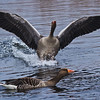 Greylag Goose in flight
