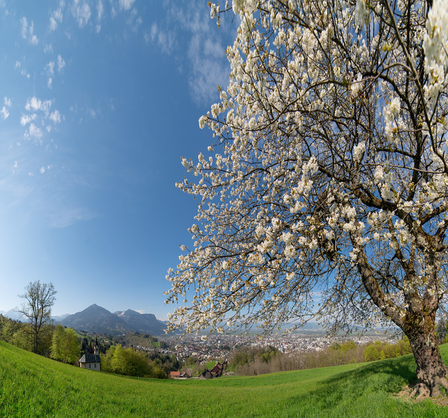 Kirschblüte oberhalb von Dornbirn