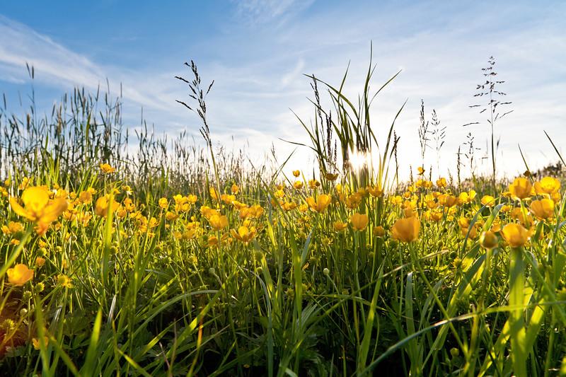 Frühlingsblumen im Rheintal