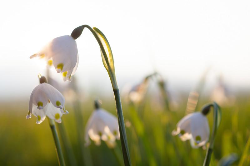 Frühlingsknotenblumen im Rheintal