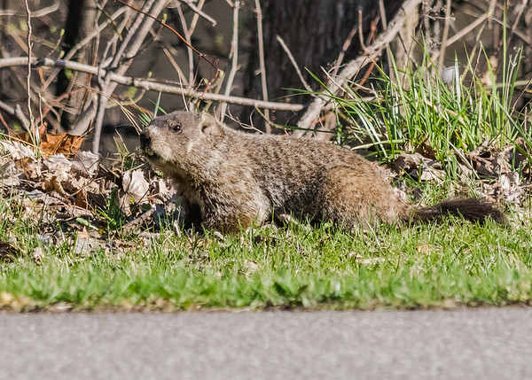 a Groundhog on riverside walk, South Bend, IN