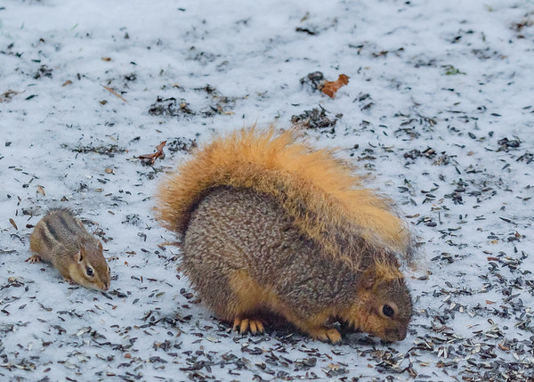 hello there giant sir, would you mind if I join you in stealing some bird food!! a Chipmunk and a  Fox Squirrel at Rum Village Nature Centre, South Bend,. IN