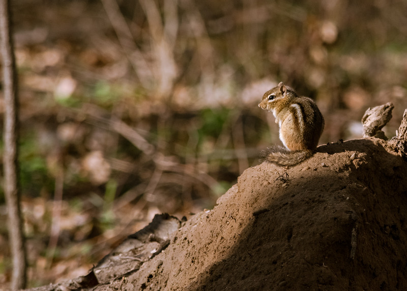 a frozen Chipmunk at Boot Lake Nature Preserve, Elkhart, IN