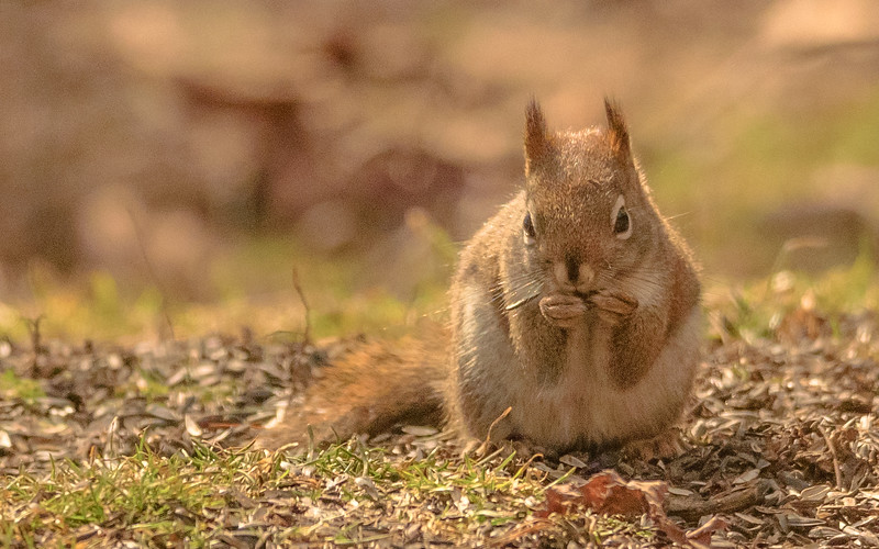 an American Red Squirrel busy with feeder seeds from the nature center of the Potato Creek State Park, North Liberty, IN