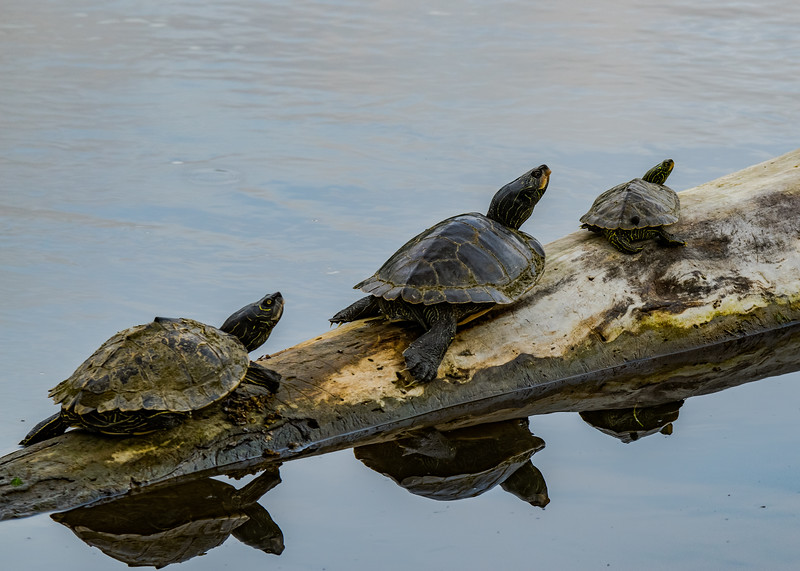a bunch of Northern Map Turtles sunning on a hot summer day on northside riverside walk, South Bend, IN