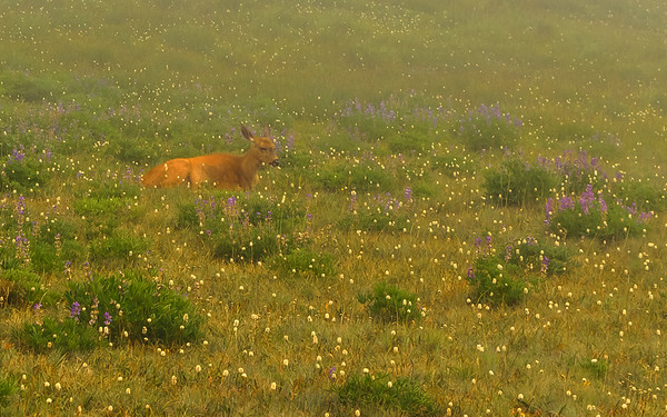 Black-tailed Deer in mist and among wildflowers at Olympic National Park, Port Angeles, WA
