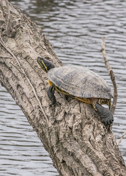 a Painted turtle warming itself on a crisp spring day.