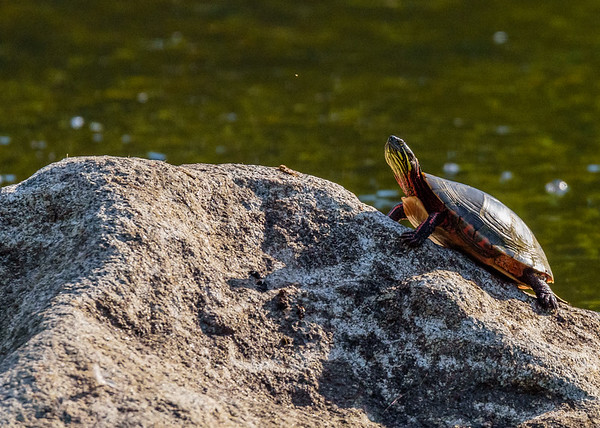 todat its another Painted Turtle from Wellfield Botanic Gardens, Elkhart, IN