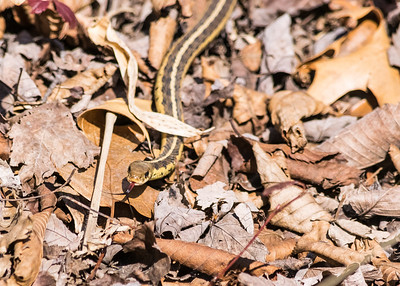 a Garter Snake at Cowles bog of Indiana Dunes National Lakeshore, Dune Acres, IN