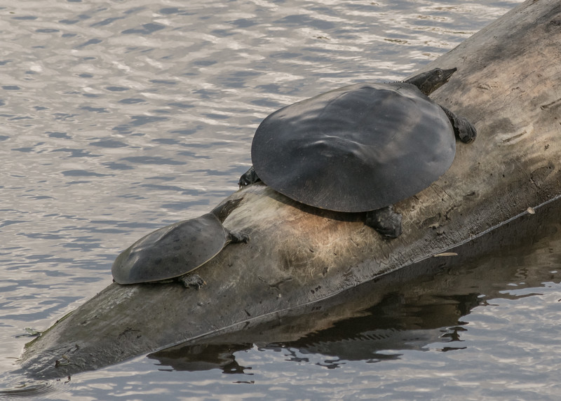 Spiny Softshell Turtles basking in the sun in early summer sun in northside riverside walk, South Bend, IN