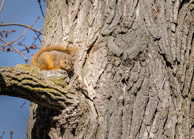 a Fox Squirrel on a cool early spring day on riverwalk, South Bend, IN