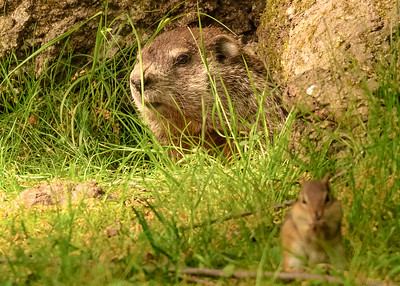 a Groundhog from Rum Village Nature Center, South Bend, IN