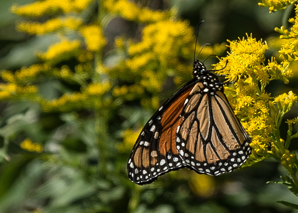 a Monarch butterfly from Coffee Creek Watershed Preserve, Chesterton, IN