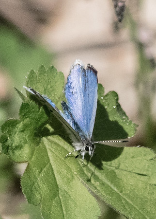 a Spring Azure Butterfly at Potato Creek State Park, North Liberty, IN