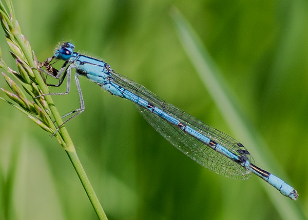 a Familiar Bluet found at Boot Lake Nature Preserve, Elkhart, IN