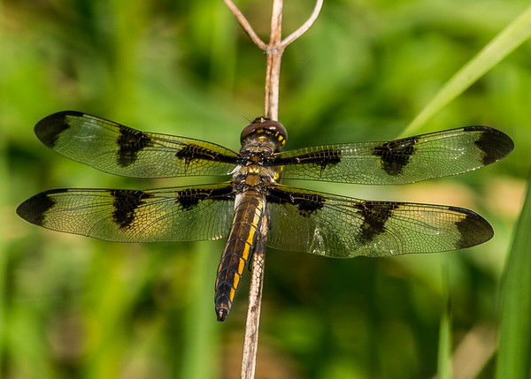 an Common Whitetail (also called long-tailed skimmer) female dragonfly from Boot Lake NP, Elkhart, IN