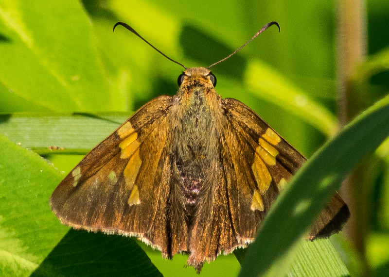 a Silver-spotted Skipper from Fernwood Botanical Gardens and Nature Preserve, Niles, MI