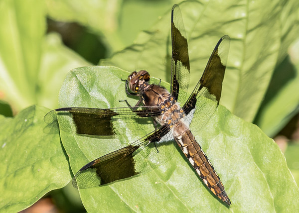 an immature Common Whitetail (also called long-tailed skimmer) male dragonfly from Boot Lake NP, Elkhart, IN