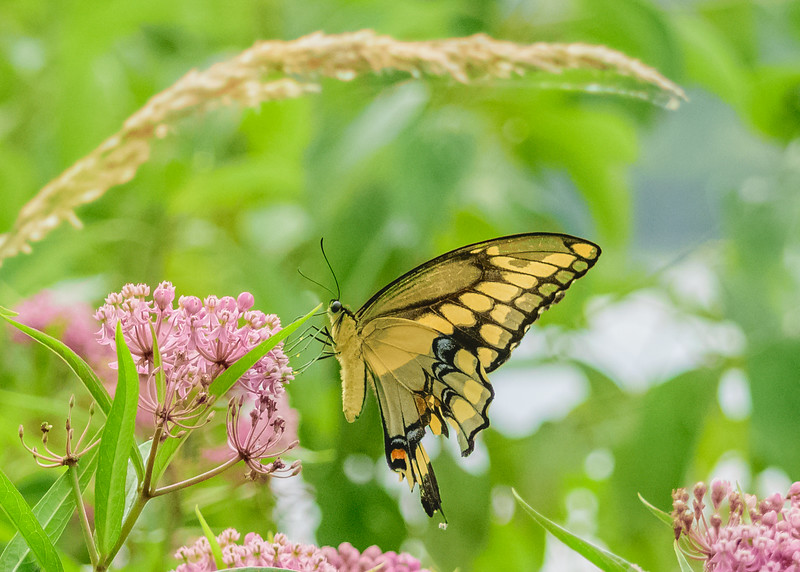Giant Swallowtail butterfly at Potato Creek State Park, North Liberty, IN