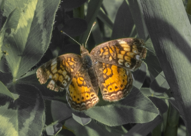 a Pearl Crescent butterfly from Fernwood Botanical Gardens and Nature Preserve, Niles, MI