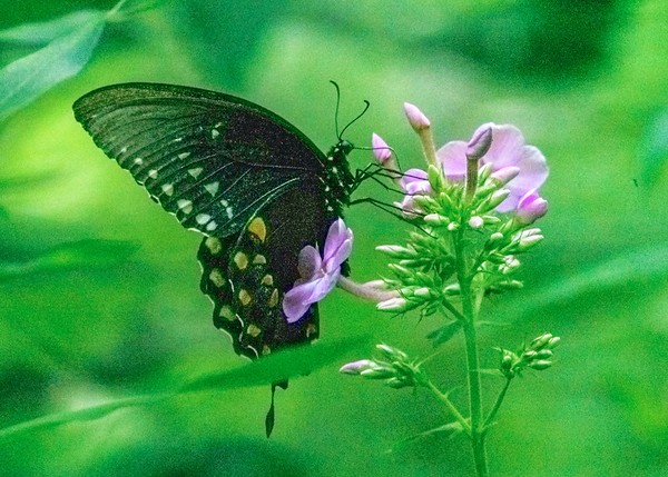 Eastern Tiger Swallowtail at Potato Creek State Park, North Liberty, IN